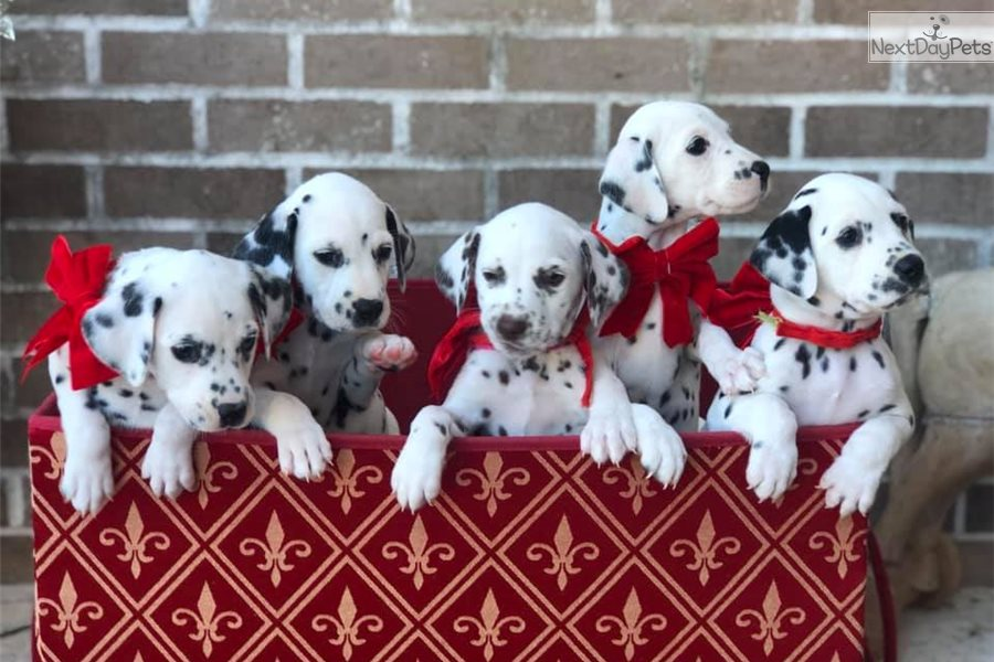 Puppies For Sale In South Florida