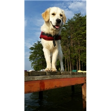 View full profile for Little River Goldens