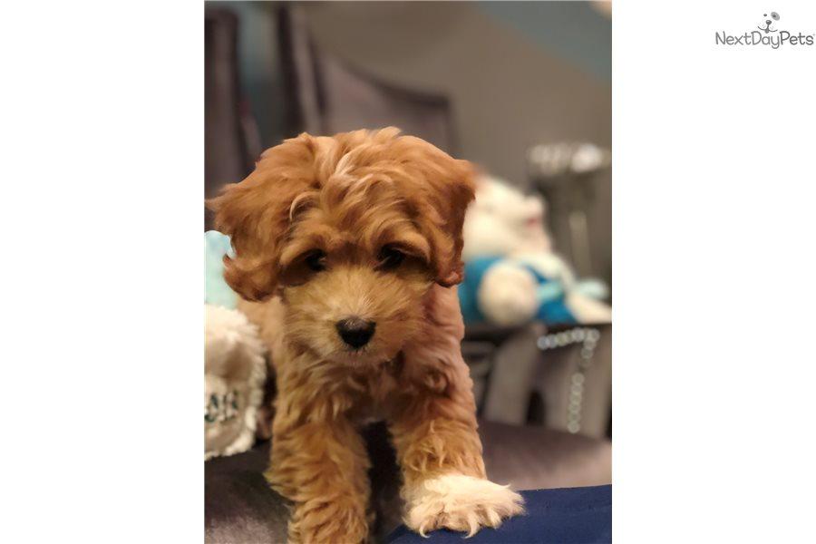 Coco: Cavapoo puppy for sale near Chicago, Illinois