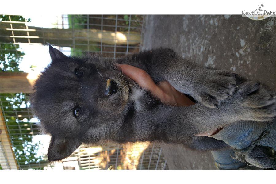 Wolf Hybrid puppy for sale near Akron / Canton, Ohio