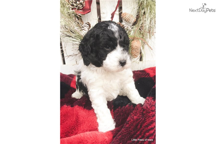 Gus Bernedoodle Puppy For Sale Near Sioux City Iowa
