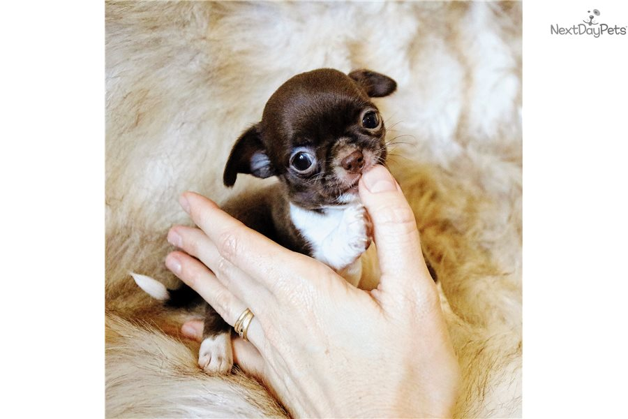 79+ Smooth Coat Chihuahua Puppies For Sale