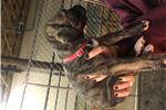 Picture of Beautiful Irish Wolfhound puppy