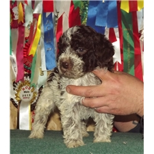 View full profile for Northwest Lagotto