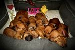 Picture of Tinkerbell - Mountain Rhodesian Ridgeback puppy!