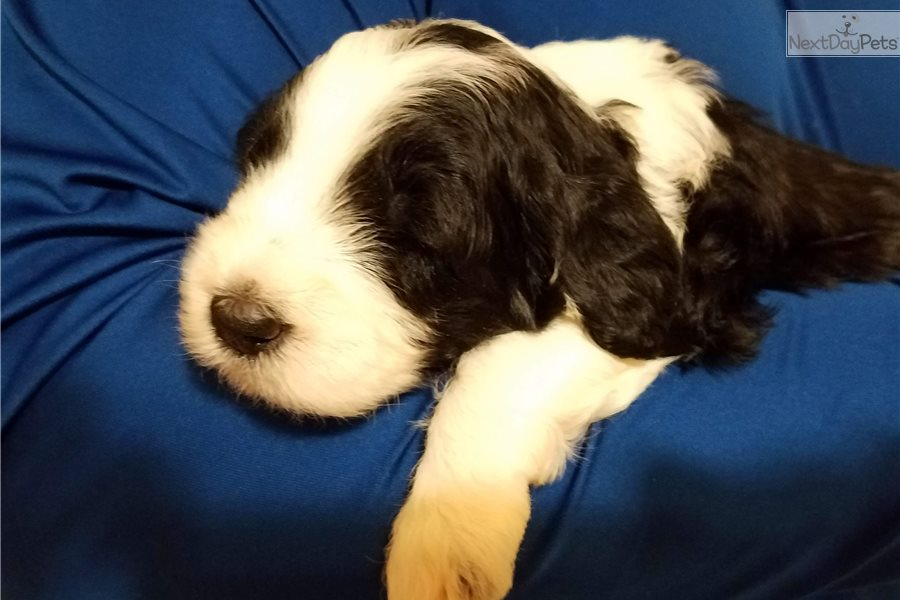 Maggie Litter: Sheepadoodle puppy for sale near San Antonio