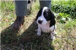 Picture of Hank (Red Collar male)