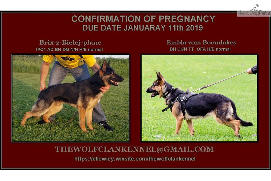 Female 1: German Shepherd puppy for sale near London, Ontario