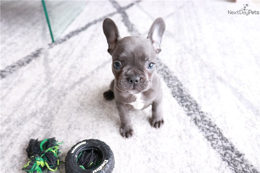 Elly: French Bulldog puppy for sale near North Jersey, New