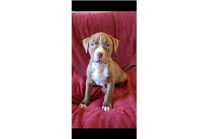 American Pit Bull Terriers for sale