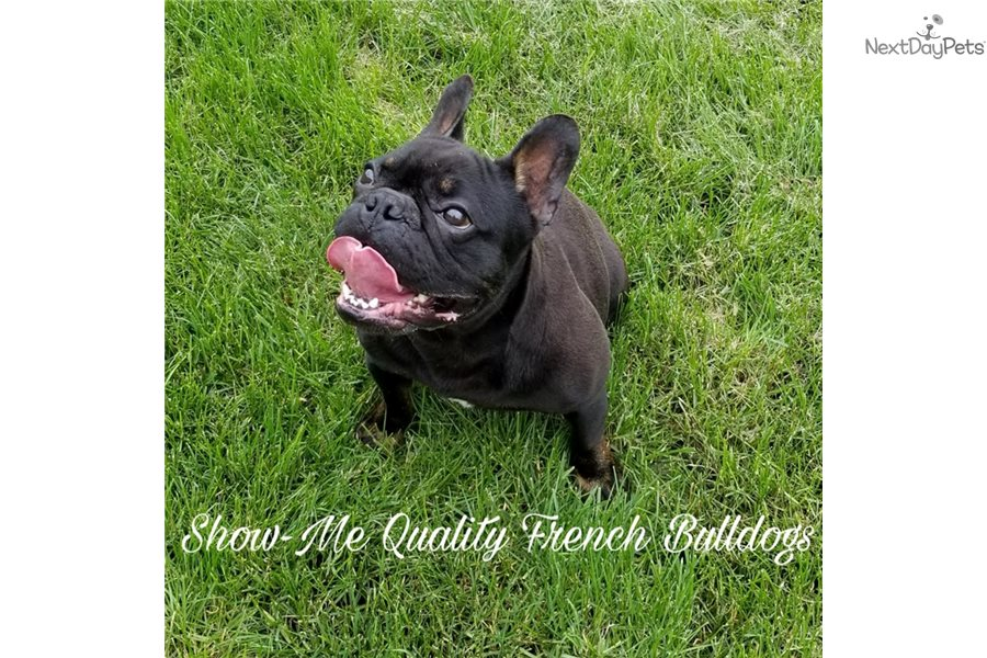 Roscoe French Bulldog Puppy For Sale Near Kansas City