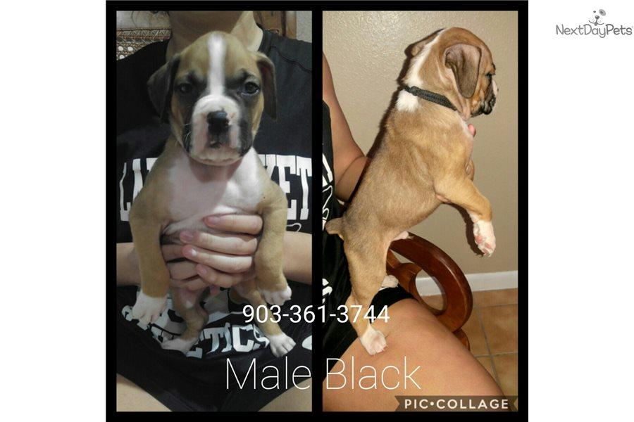 Male 1: Boxer puppy for sale near Dallas / Fort Worth, Texas