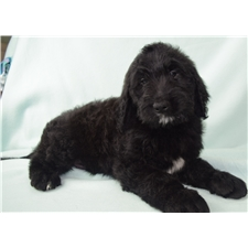 View full profile for Crosby's Goldendoodles
