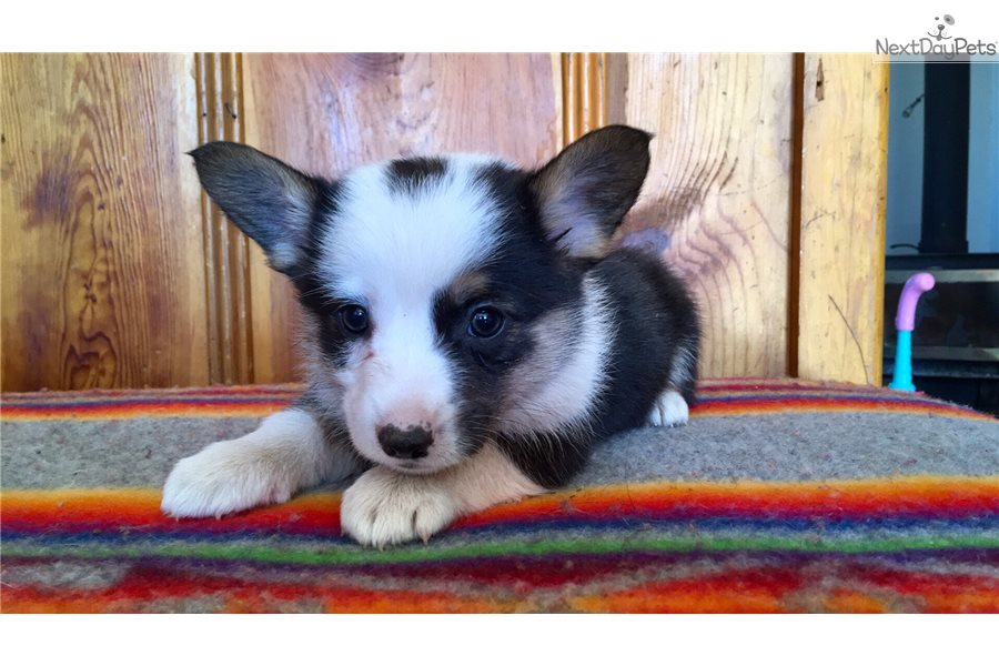 Mini Corgi Puppies For Sale >> Harley Corgi Puppy For Sale Near Show Low Arizona 215da504 42f1