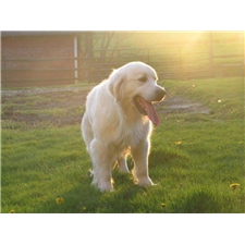 View full profile for Yoders Retrievers