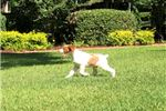 Brittany Spaniel for sale