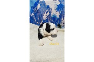 Portuguese Water Dogs for sale