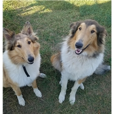 View full profile for Falzerano Collies