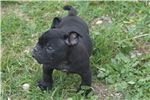 Picture of 10 week old UKC registered male pup