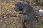 Picture of 10 week old blue female pup (Mr. Miagi Blood)