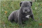 Picture of BLUE POCKET PITBULL MALE PUP (MIAGI BLOOD)