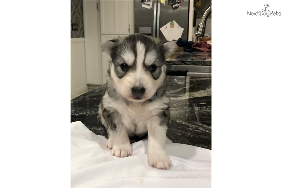 Tori Siberian Husky Puppy For Sale Near Denver Colorado