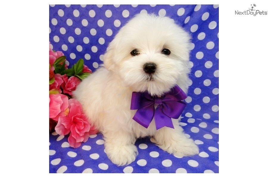 Maltese Puppy For Sale Near Dallas Fort Worth Texas C230667b 7f51