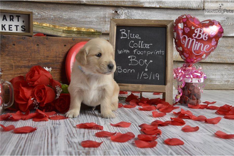 Golden Retriever Puppy For Sale Near Jonesboro Arkansas 37641169 Ec21