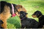 Picture of Airedale Terrier (Purple)