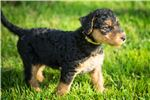 Picture of Airedale Terrier (Yellow)