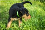 Picture of Airedale Terrier (Lime green)