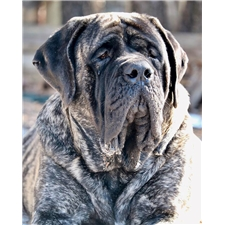 View full profile for Mh Mastiffs