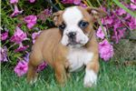 Picture of  Adorable Beabull Puppy Available CUTE! Izzy