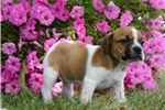 Picture of Fern Adorable BeabULL PUPPY AVAILABLE CUTE! wow