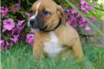 Picture of SASHA ADORABLE BEABULL PUPPY READY !