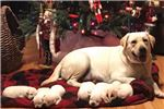 Picture of AKC English lab puppies