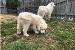 Picture of CKC Great Pyrenees Puppy [Perfect 4 kids & LGD]