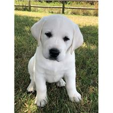View full profile for White English Labrador Retrievers