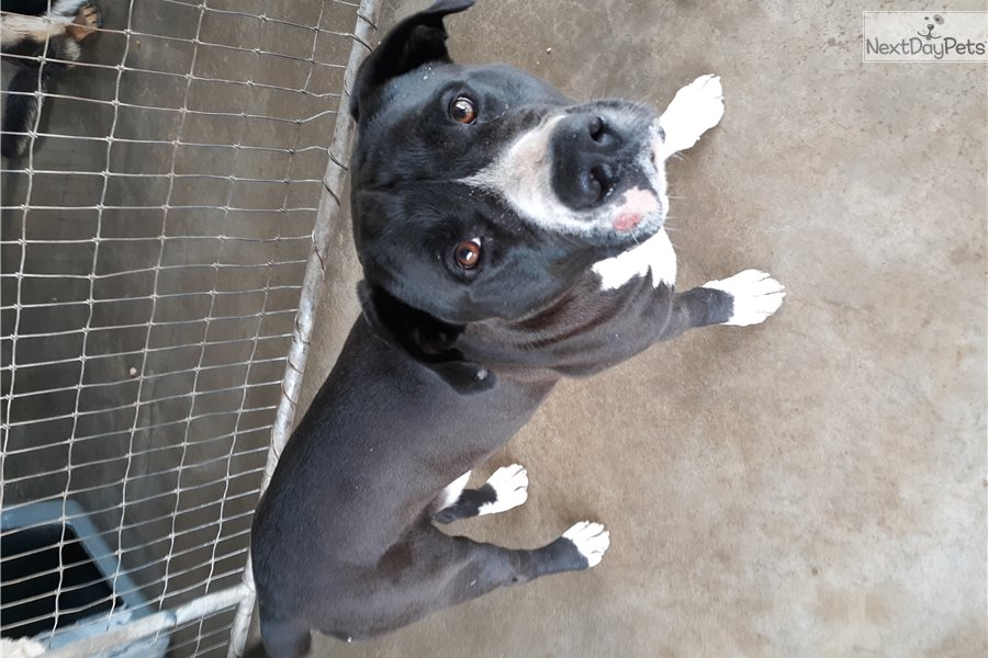 Hank: American Staffordshire Terrier puppy for adoption ...