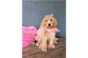 Lily - Poodle, Standard for sale