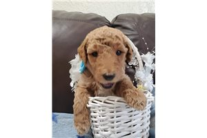 Belle - Poodle, Standard for sale