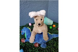 Einstein - Poodle, Standard for sale