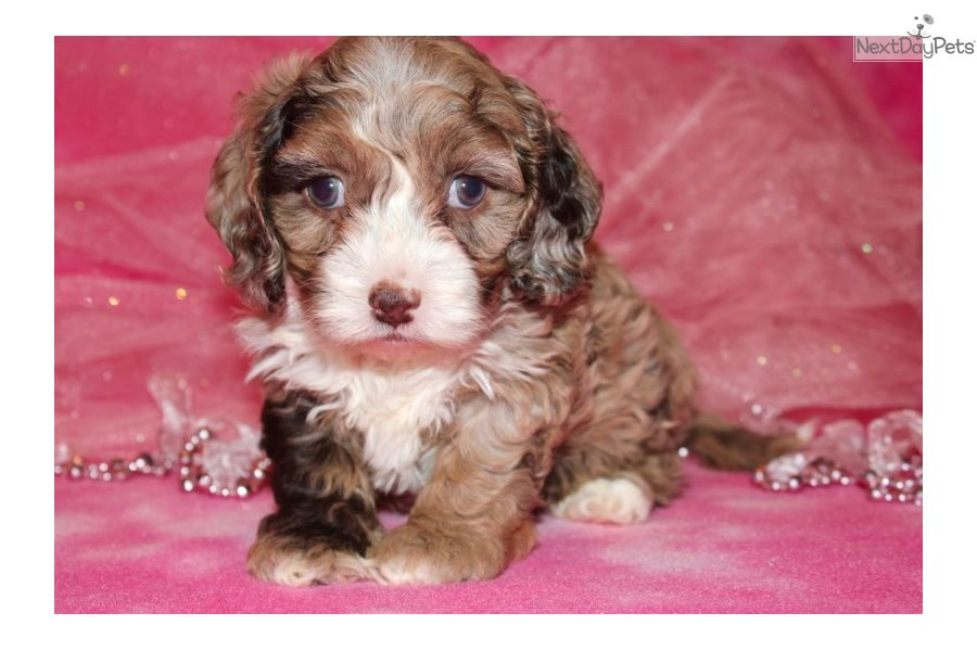 Tilly: Cockapoo puppy for sale near In Nigeria