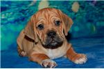 Picture of Toby- 1st Generation Puggle