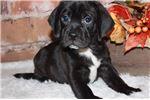 Picture of Tyson- Beautiful black Puggle!