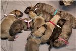 Picture of Irish Wolfhound puppy litter coming soon