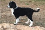 Picture of Daisy-black and white female