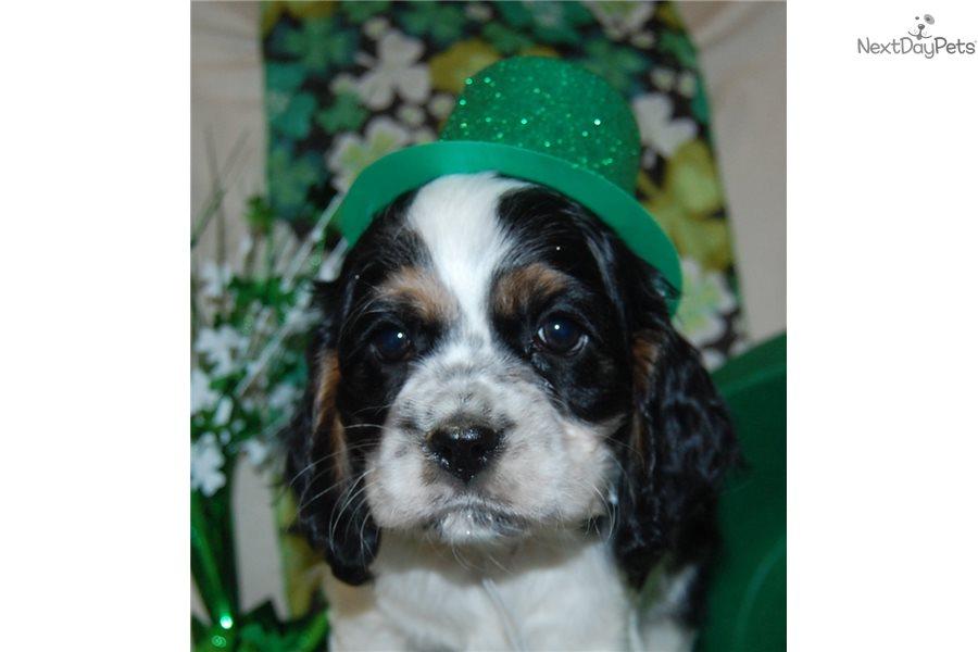 Bear Cocker Spaniel Puppy For Sale Near Blacksburg Virginia