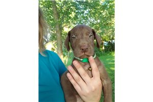 Great Dane Puppies For Sale From Fayetteville Arkansas Breeders