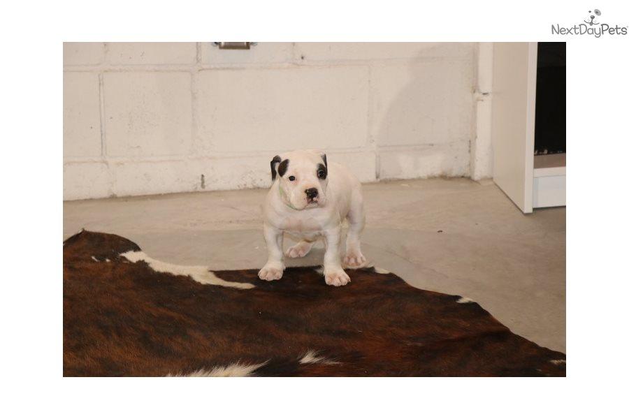 American Bully puppy for sale near Kansas City, Missouri
